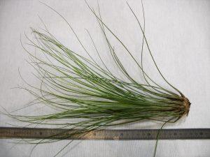 Juncifolia (grand)