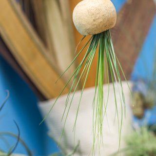 Juncifolia dans calebasse