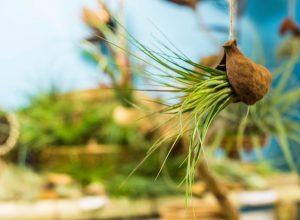Melanocrater Tricolor dans noix de Badam