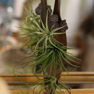 feuille-de-coco-fleurs-de-lotus-albida-velutina-et-bulbosa