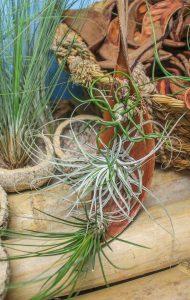 feuille-de-coco-graine-deucalyptus-bulbosa-oaxacana-et-juncifolia