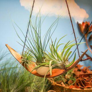 feuille-de-coco-ionantha-juncifolia-dans-calebasse-et-velutina