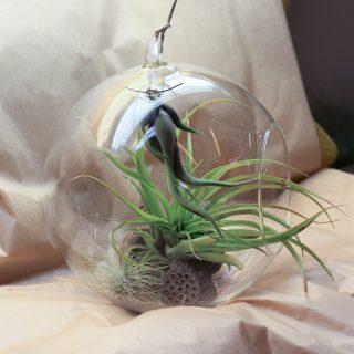 bulle diam 20cm - caput medusae, argentea et brachycaulos