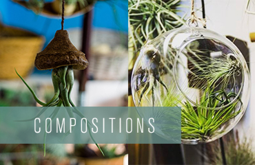 Compositions de Tillandsias
