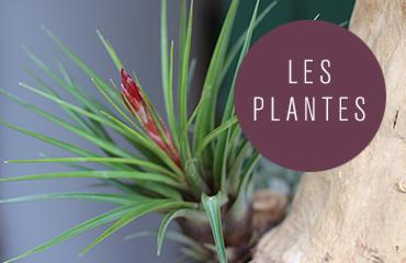 Plantes aériennes et Tillandsias